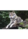 야생 늑대(wolf) 이미지(3)