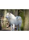 야생 늑대(wolf) 이미지