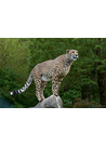 야생동물 치타(cheetah)
