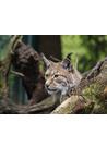 야생동물 살괭이 스라소니(lynx)