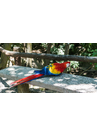 잉꼬 앵무새